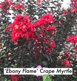 Crape Myrtle, Ebony Flame 3G (black leaves red flowers)