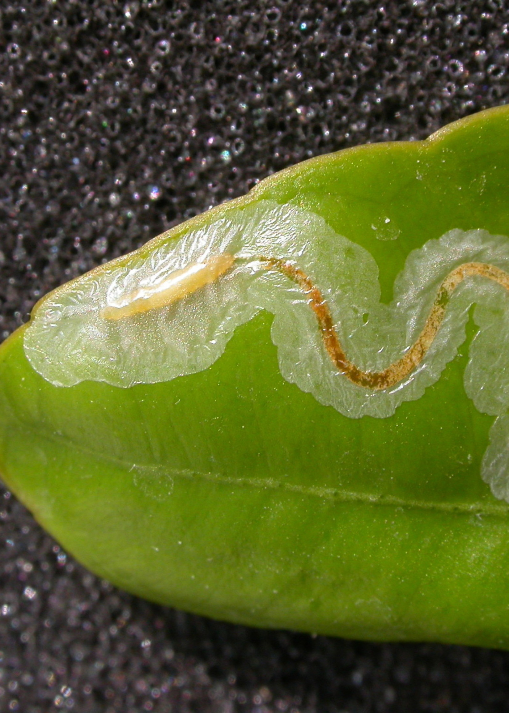 Insect, Citrus Leafminer