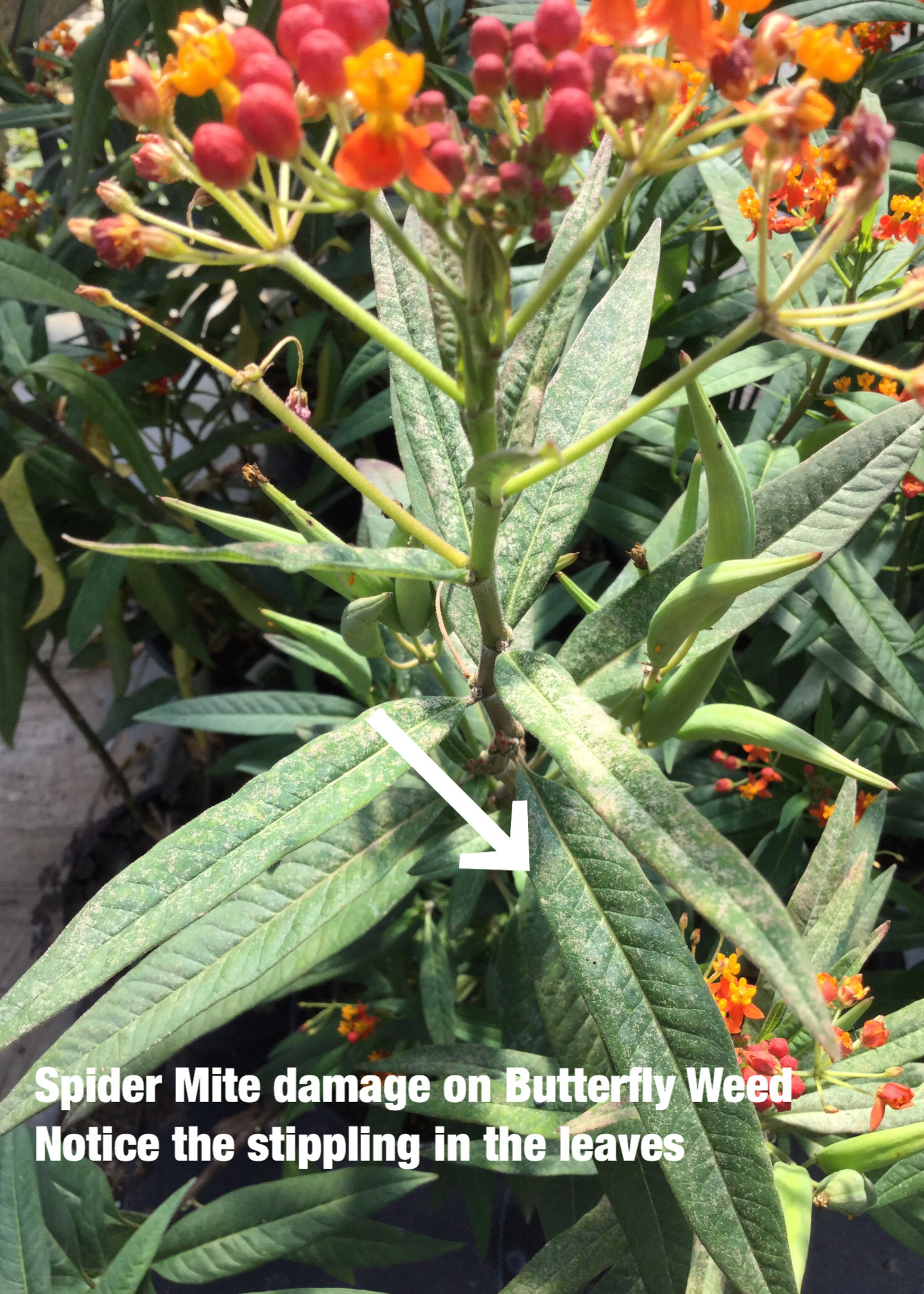 Insect, Spider Mite