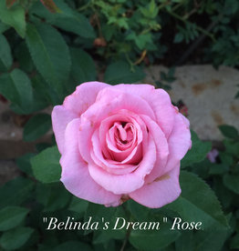 ROSE, 'BELINDA'S DREAM' 3G (pink)