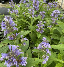 CATMINT, 'BLUE PRELUDE' 1G