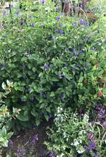 Porterweed, Blue 1G $8.99