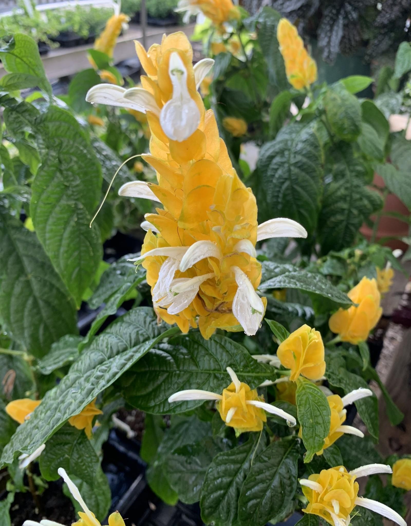 Shrimp Plant, Yellow 1G