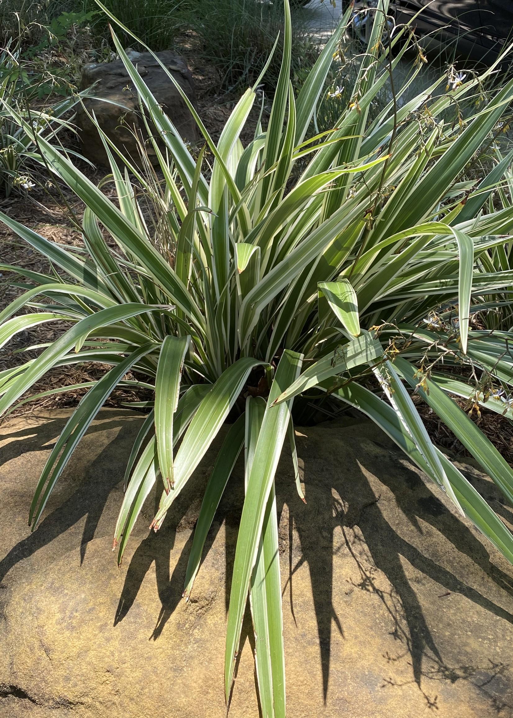 DIANELLA, WHITE VAR. (Flax Lily) 3G