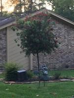 BOTTLEBRUSH, HARDY 15G TREE FORM