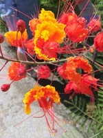 Caesalpinia, Pride of Barbados 1G AKA Mexican Bird of Paradise