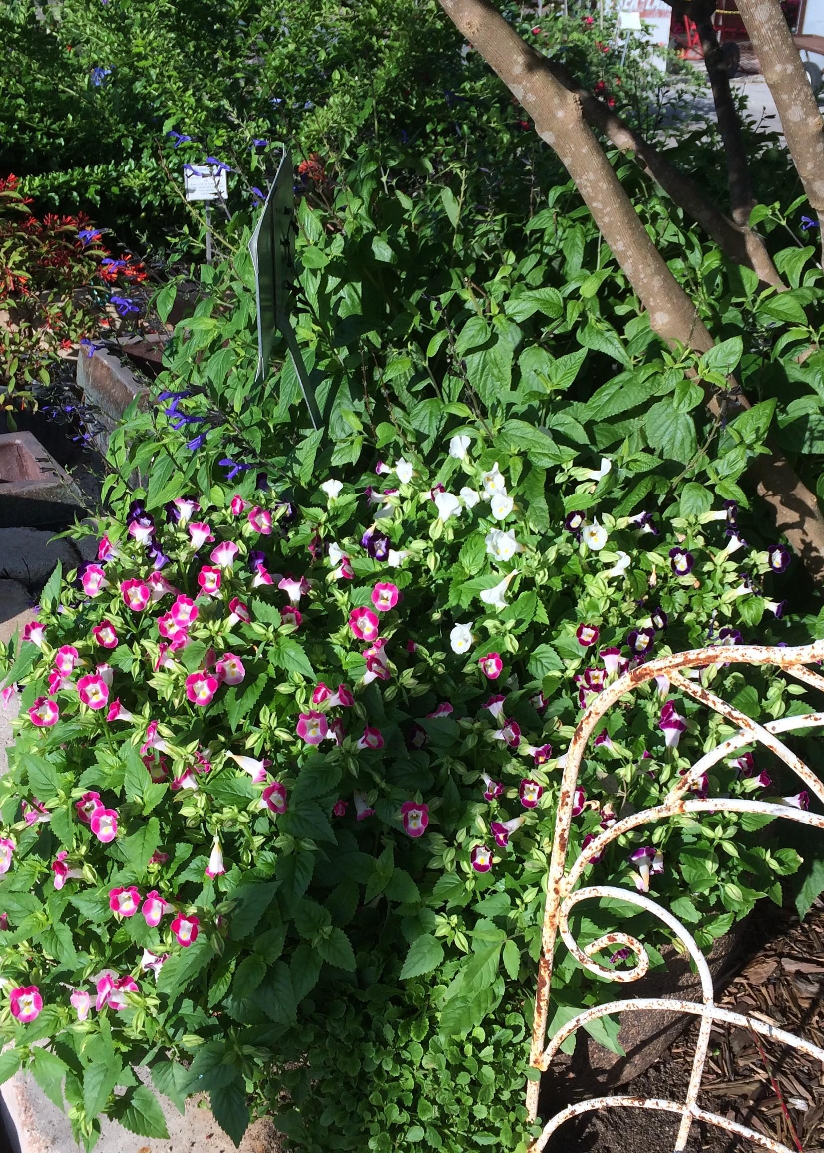 "TORENIA (wishbone Flower) 4"" NOT SOLD ONLINE"