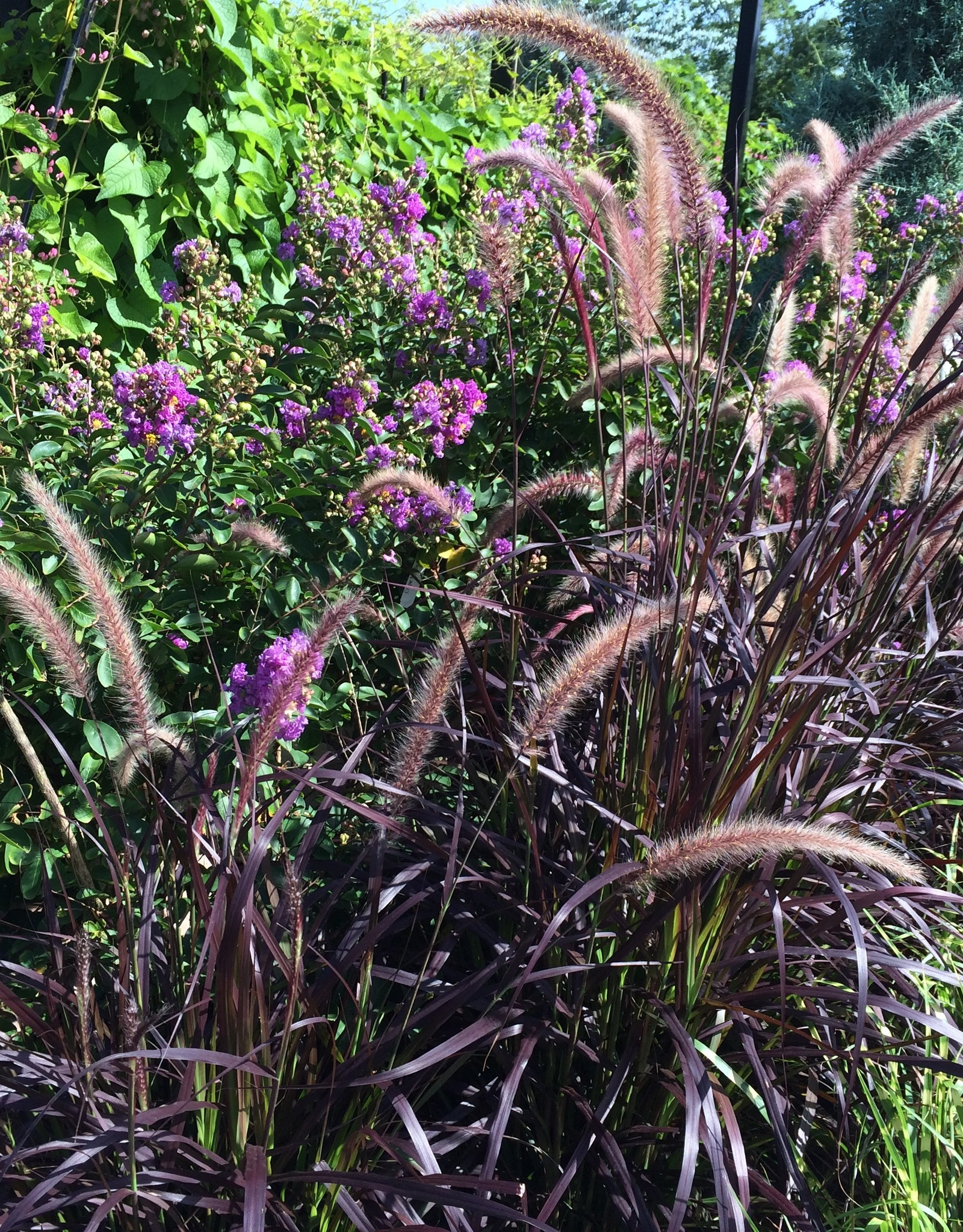 GRASS, PURPLE FOUNTAIN 3G