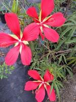 HIBISCUS TEXAS STAR (RED) Perennial 3G