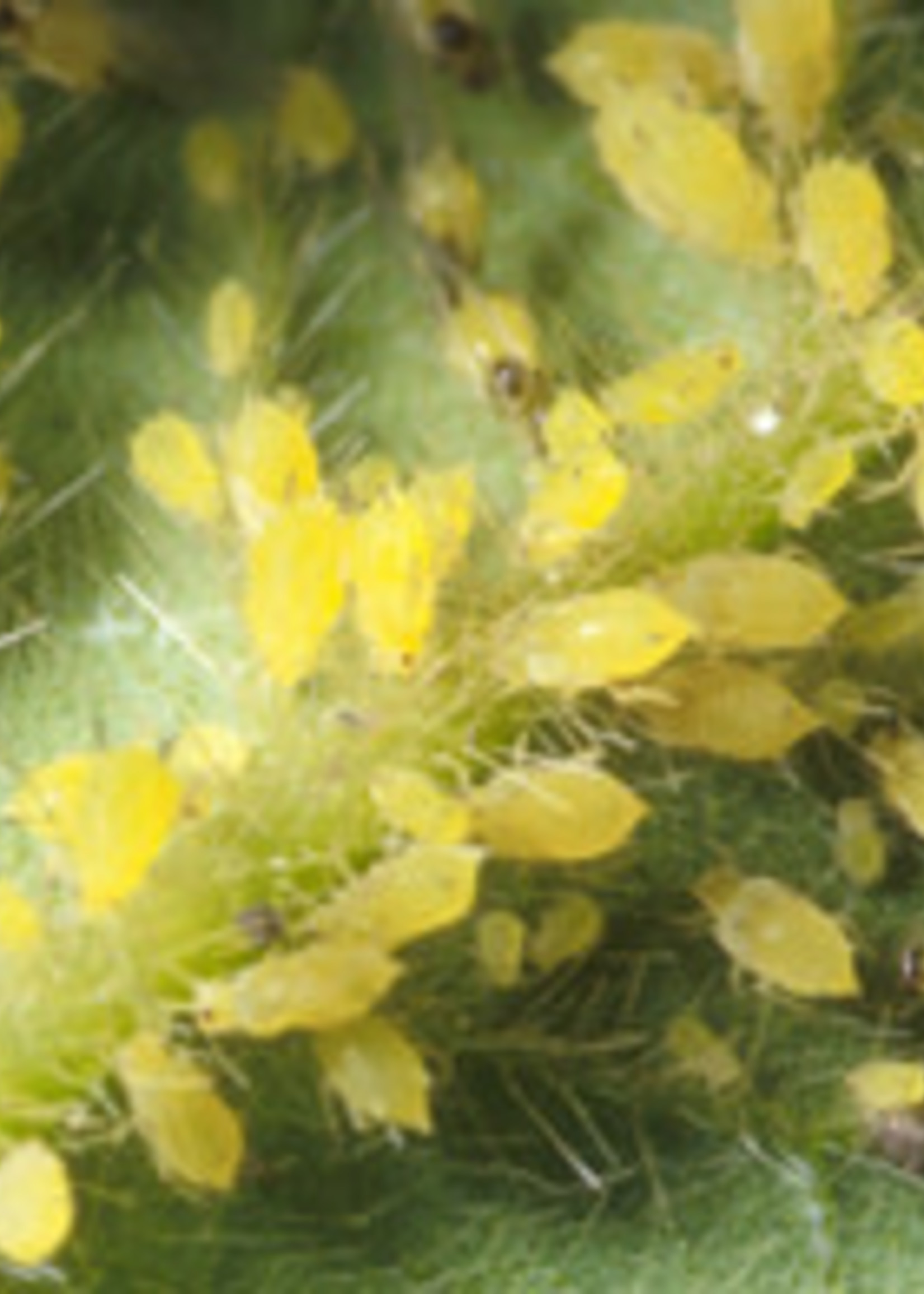Insect, Aphids