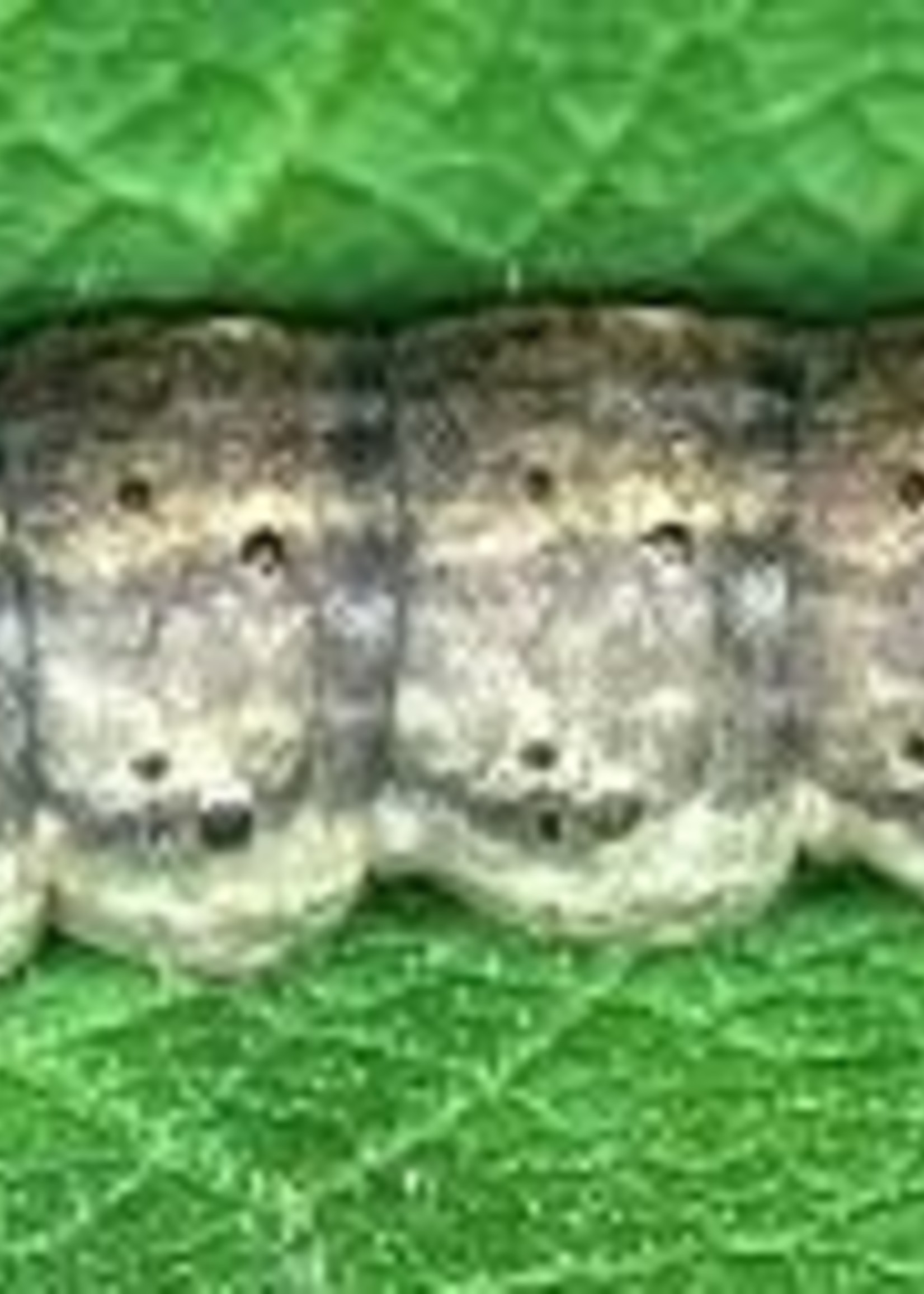 Insect, Cutworm
