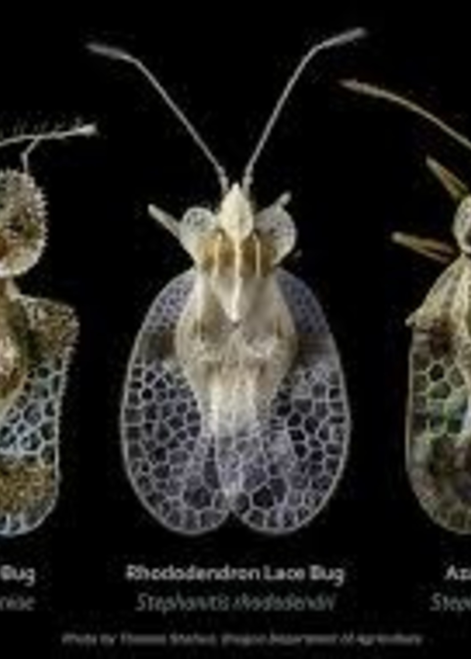 Insect, Lacebug