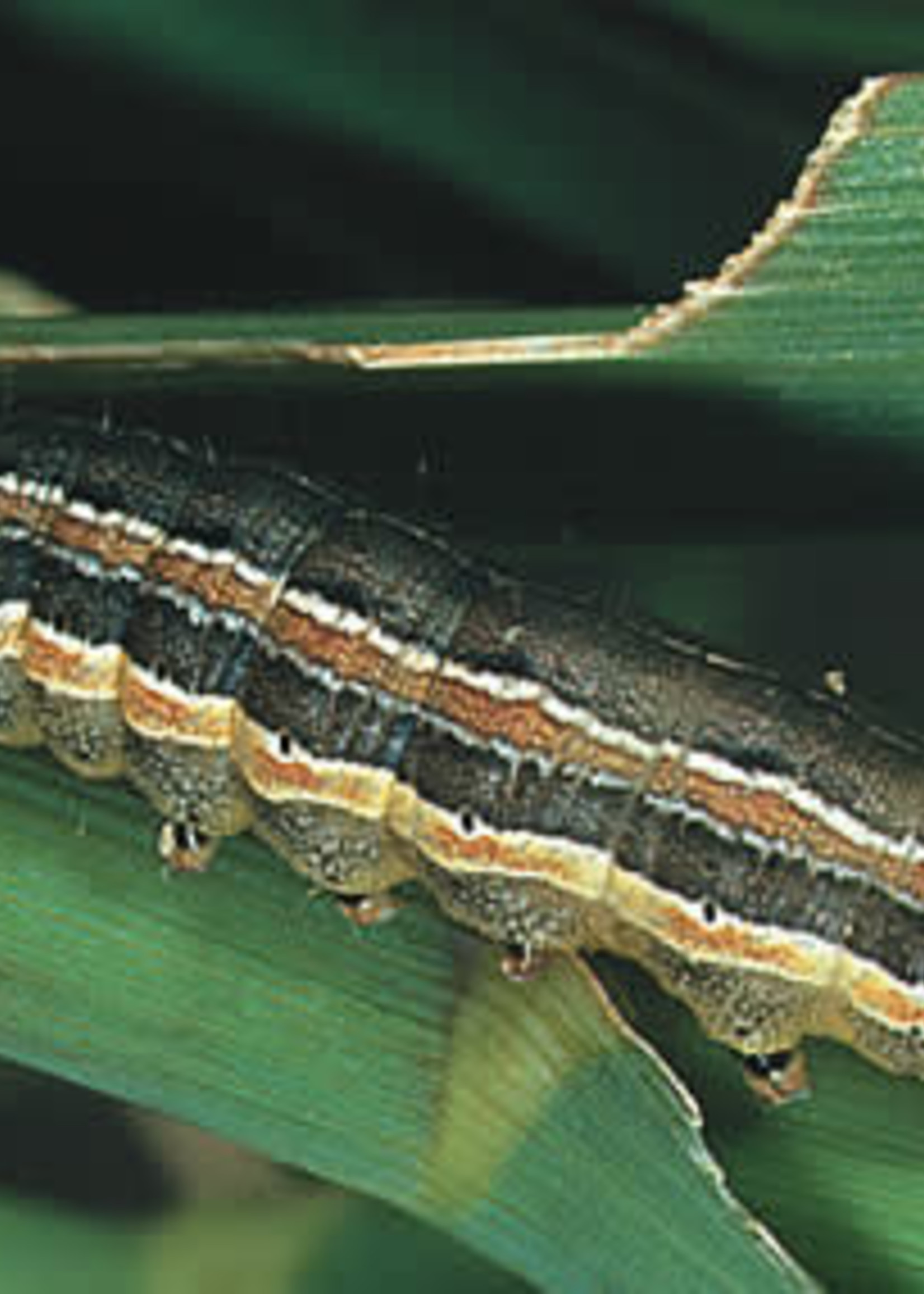 Insect, Lawn, Armyworm