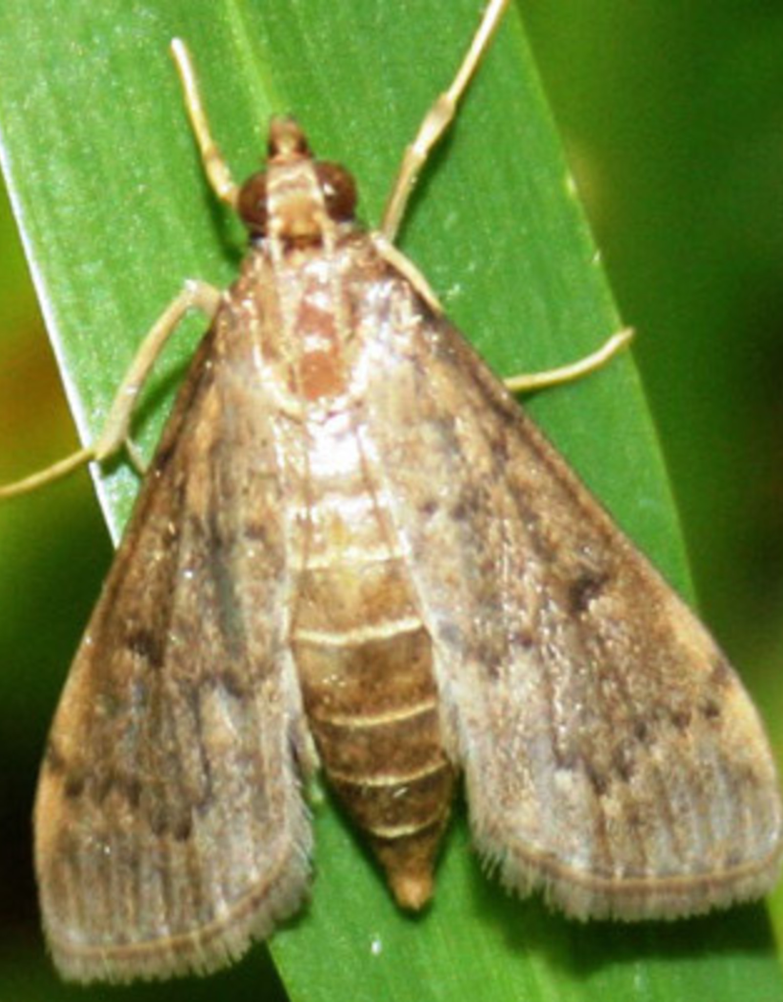 Insect, Lawn, Sod Webworm