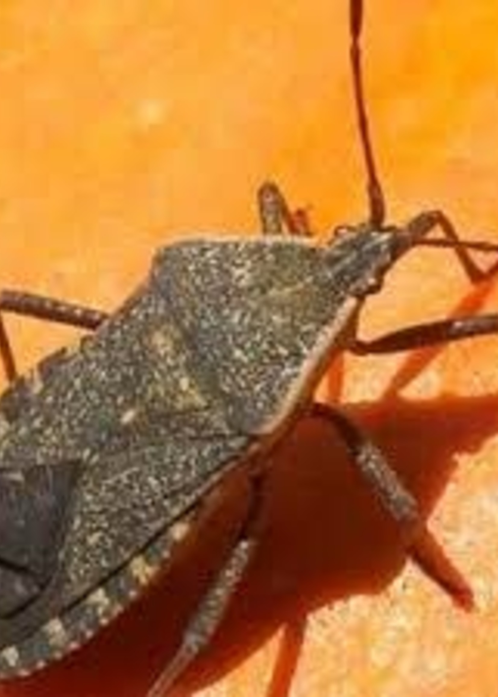 Insect, Squash Bug