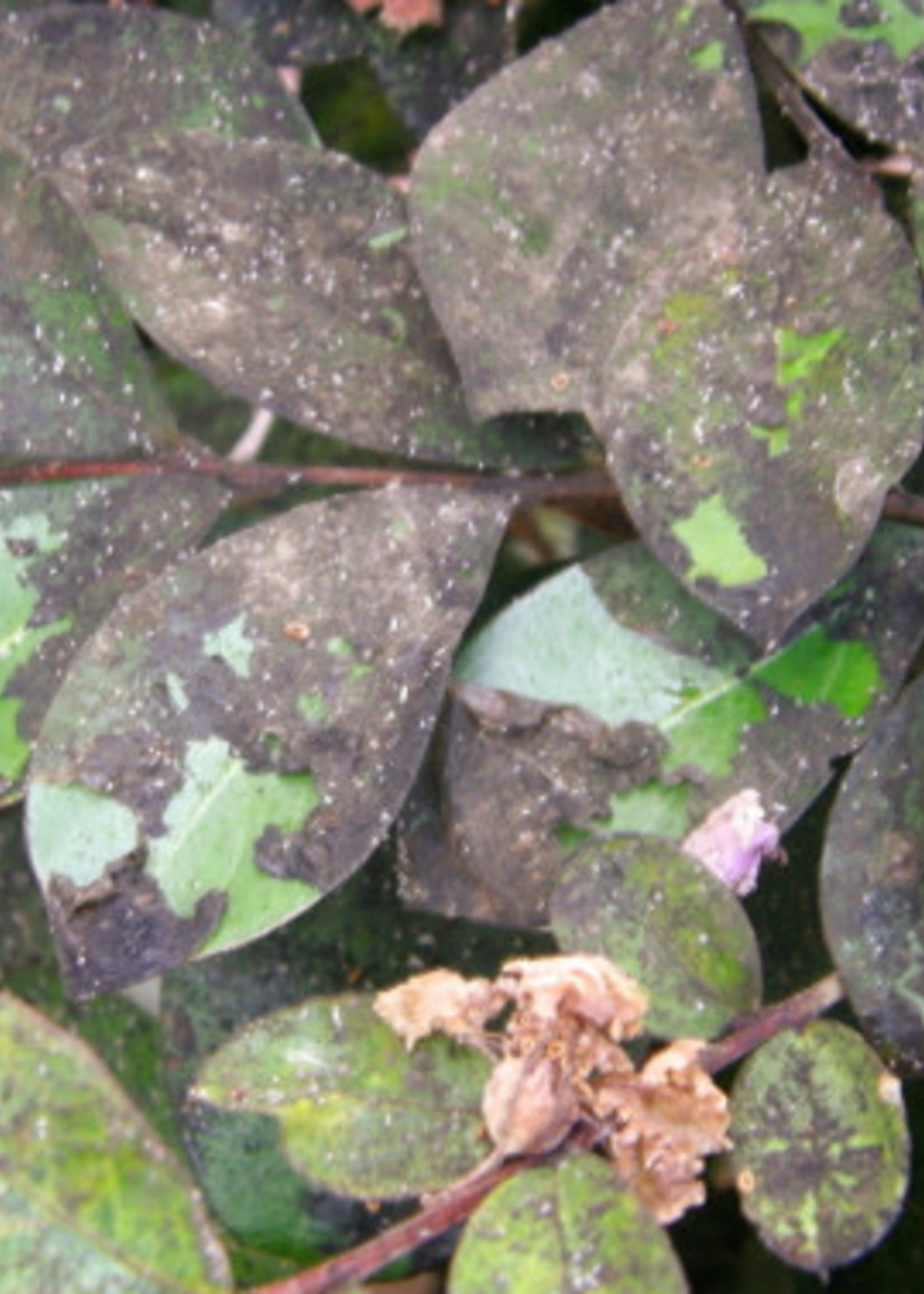 Crape Myrtles Black Leaves