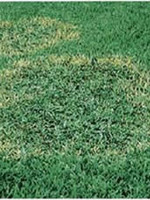 Lawn, Brown Patch