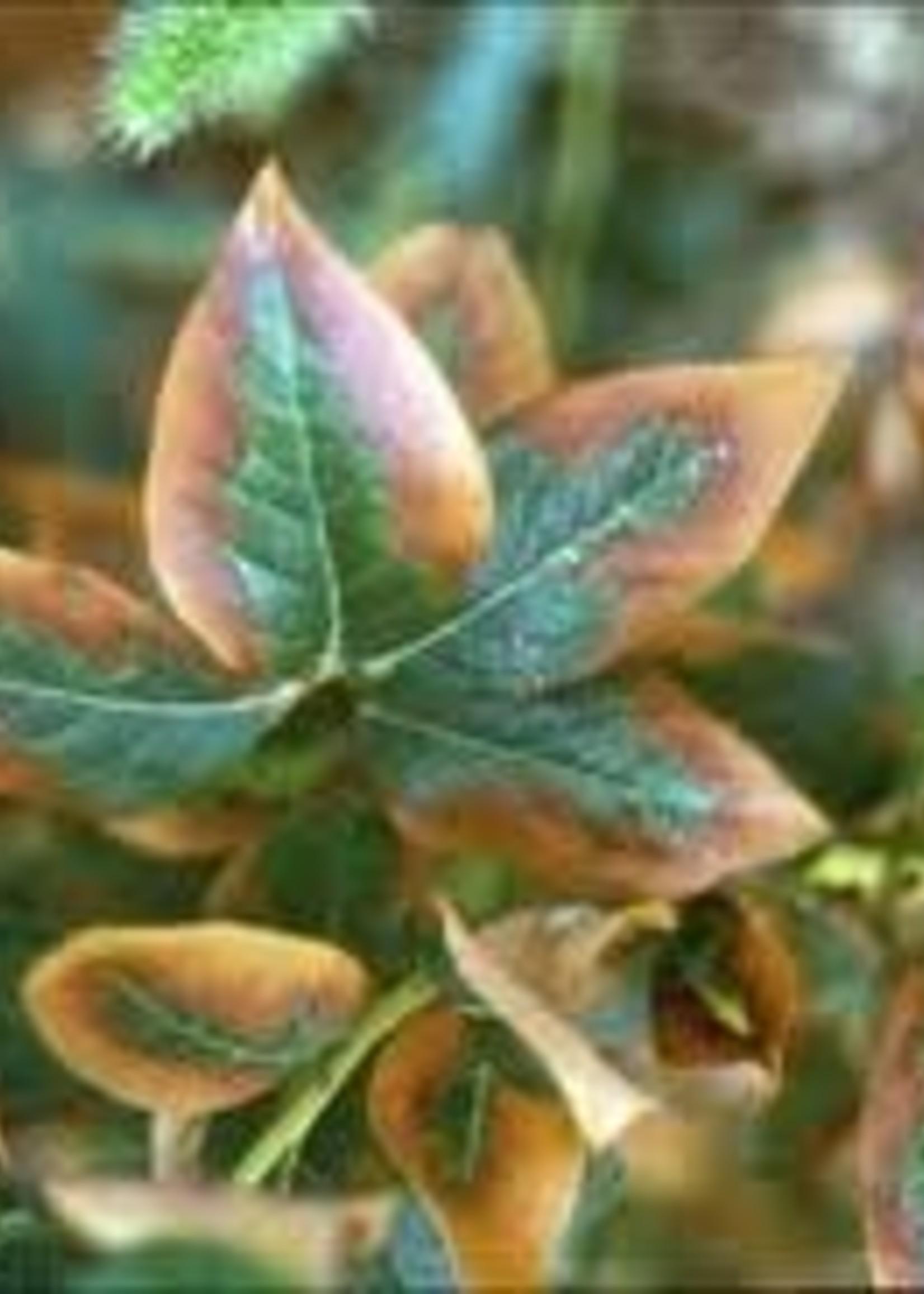 Leaf, Brown on Edges
