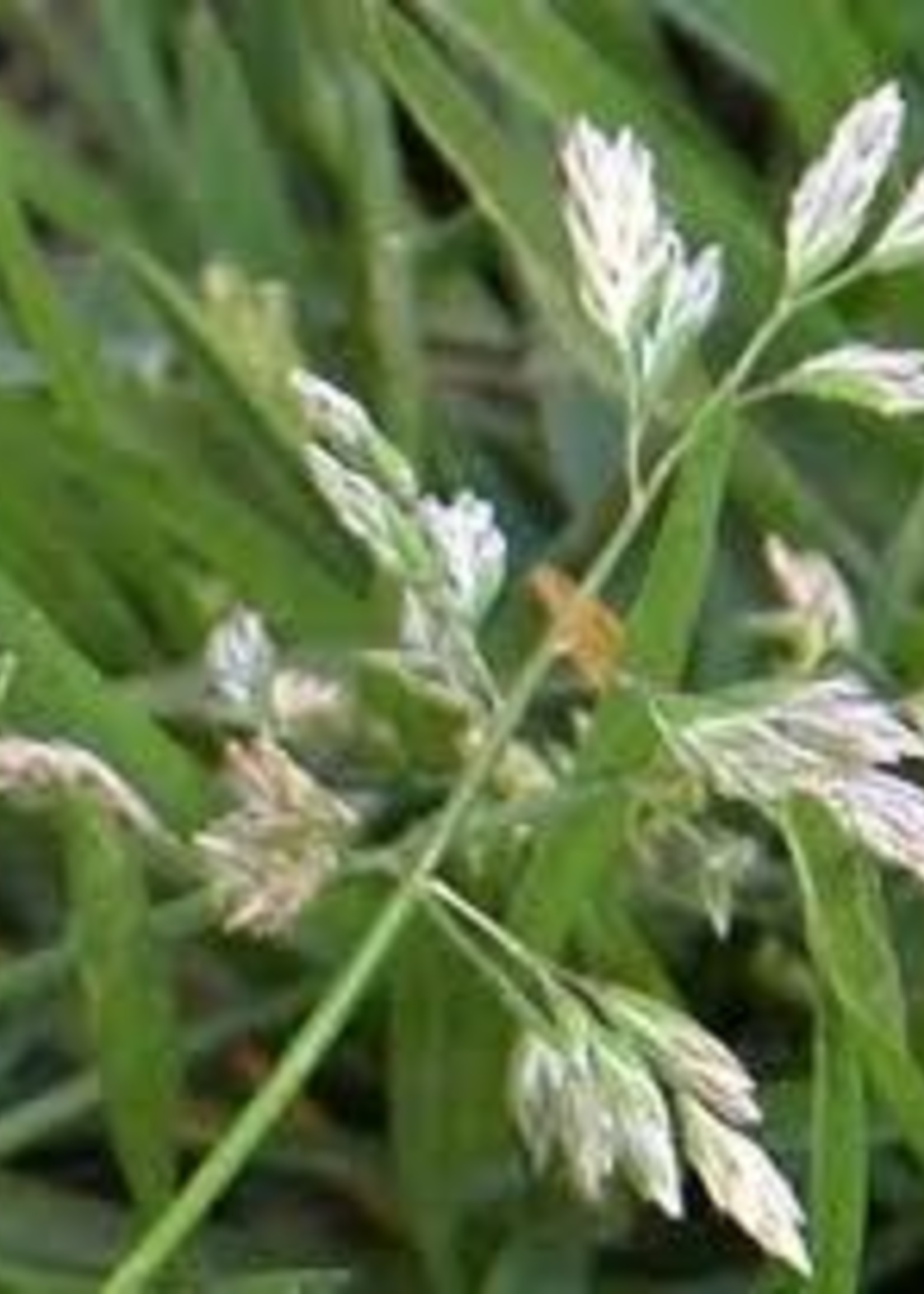 Weed, Poa annua, grassy weed
