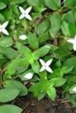 Weed, Virginia Buttonweed