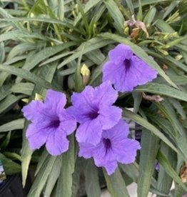 "RUELLIA, 4"" pot"