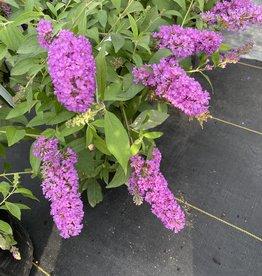 BUDDLEIA, 'TUTTI FRUITI', Butterfly Bush 3G