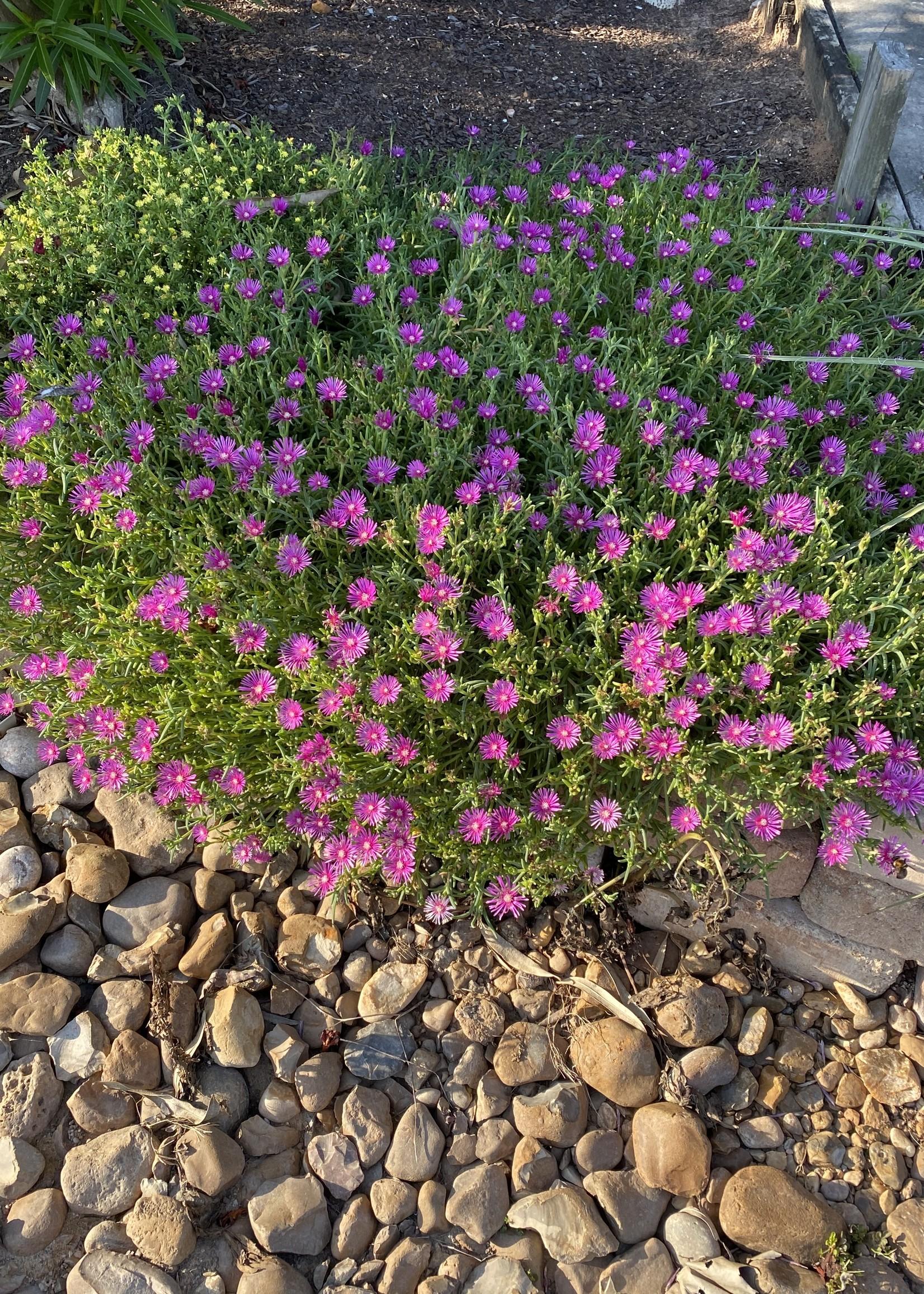 DELOSPERMA, COOPERI Ice Plant 1G