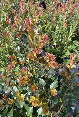 CRAPE MYRTLE, 'ENDURING SUMMER' RED 3G