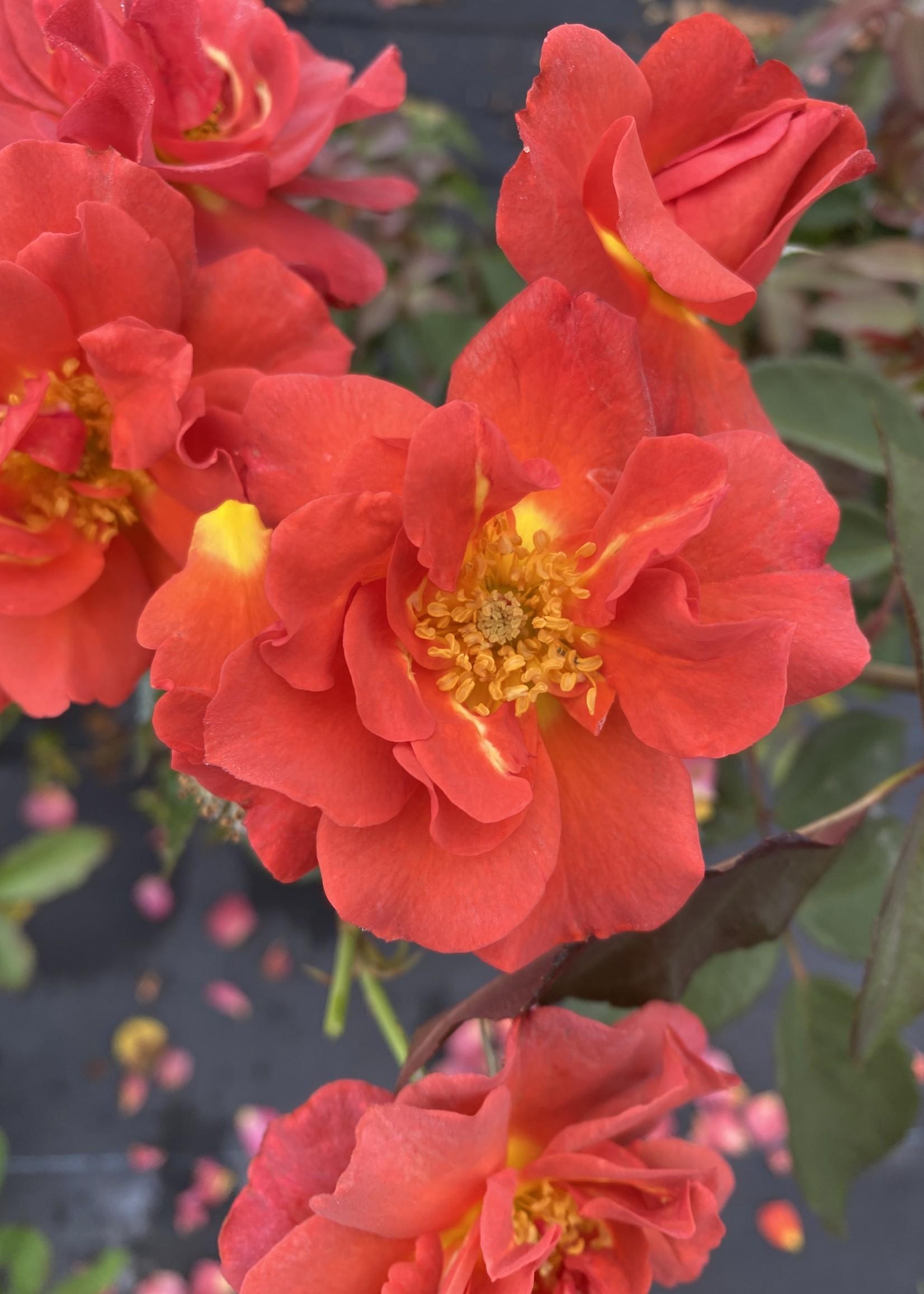 ROSE, 'CINCO DE MAYO' 3G (rusty orange)