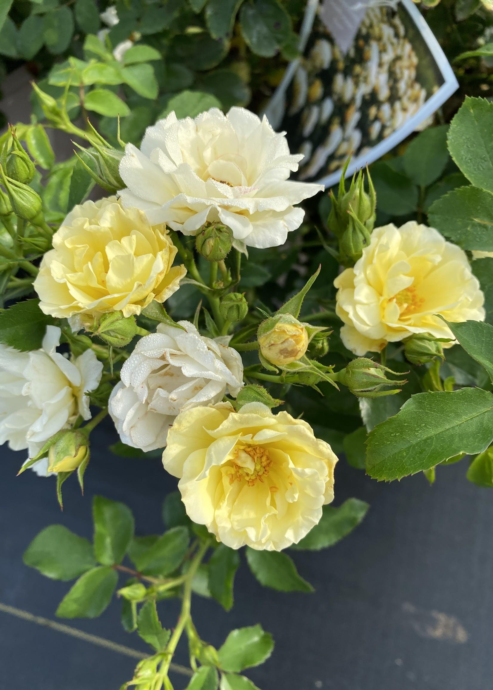 ROSE, 'DRIFT, POPCORN (buttery white) 3G