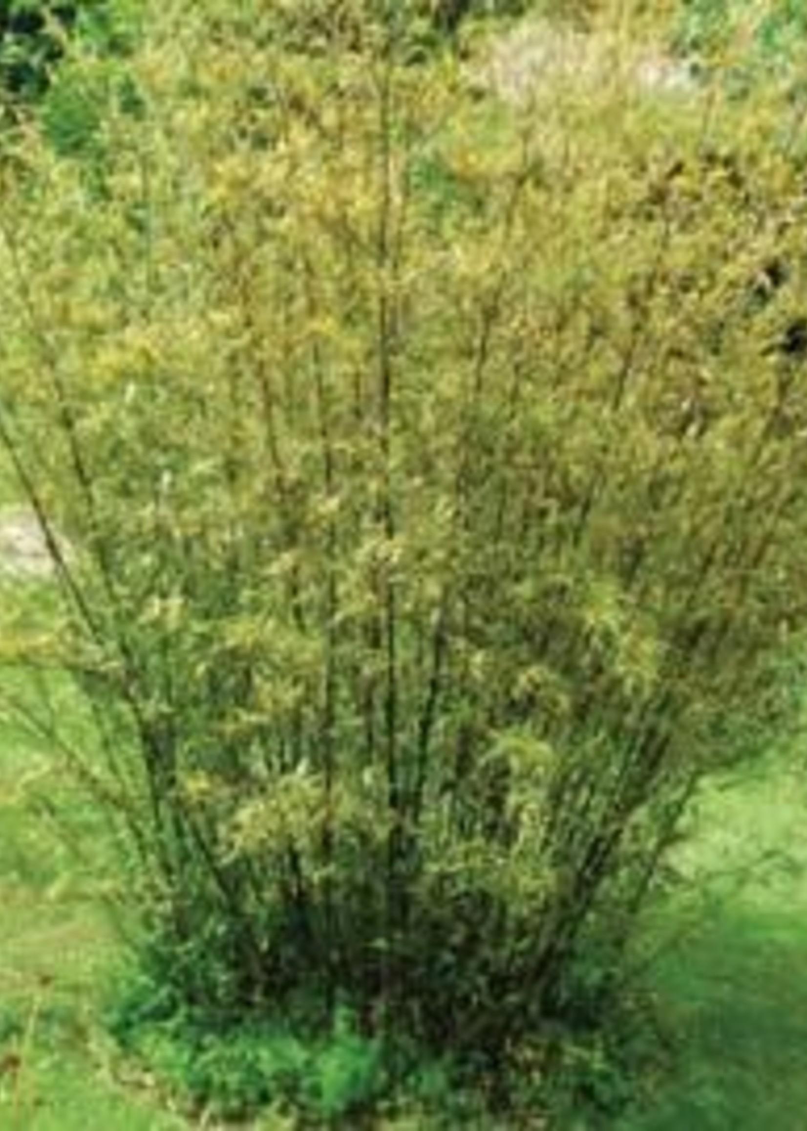 Bamboo, Golden Goddess 5G