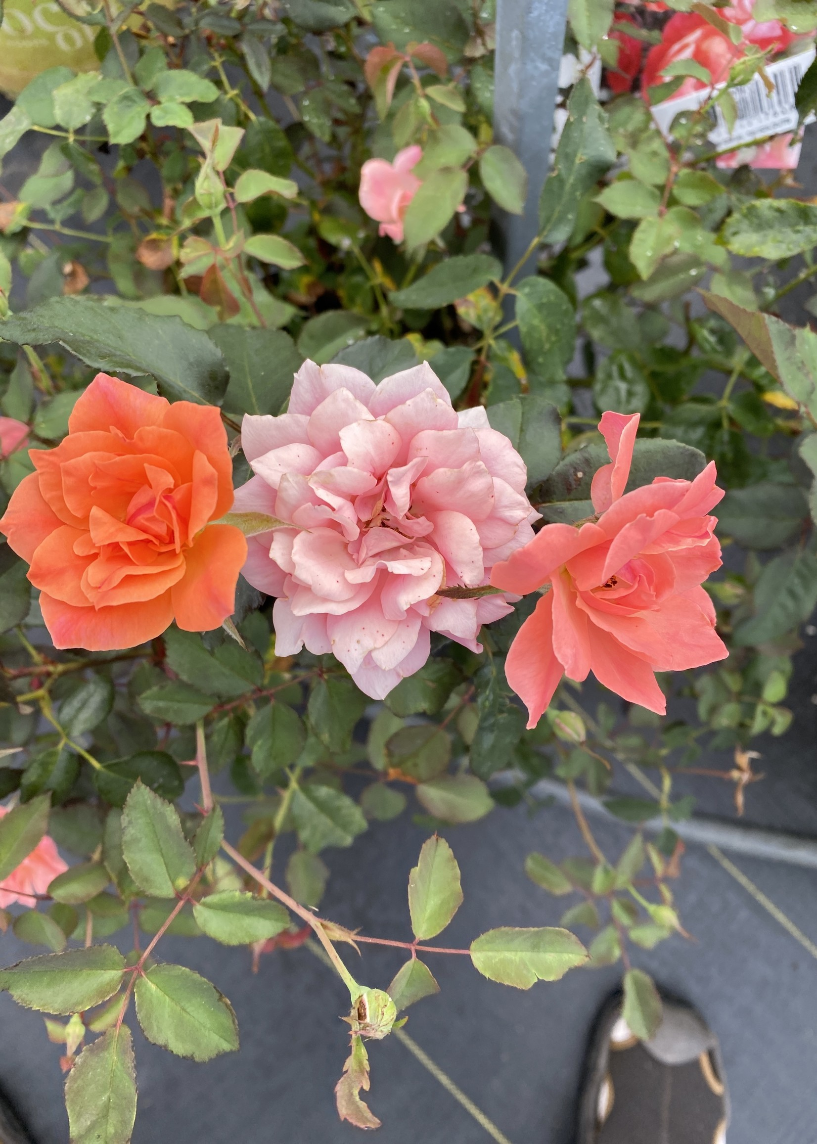 ROSE, 'KNOCK OUT' CORAL 3G