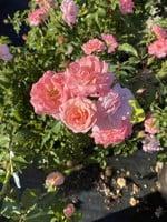 ROSE, 'DRIFT, SWEET' 3G (light pink)