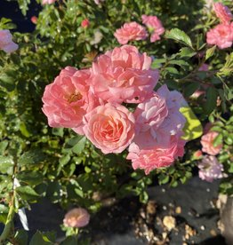 ROSE, 'DRIFT, SWEET' 3G (light pink)