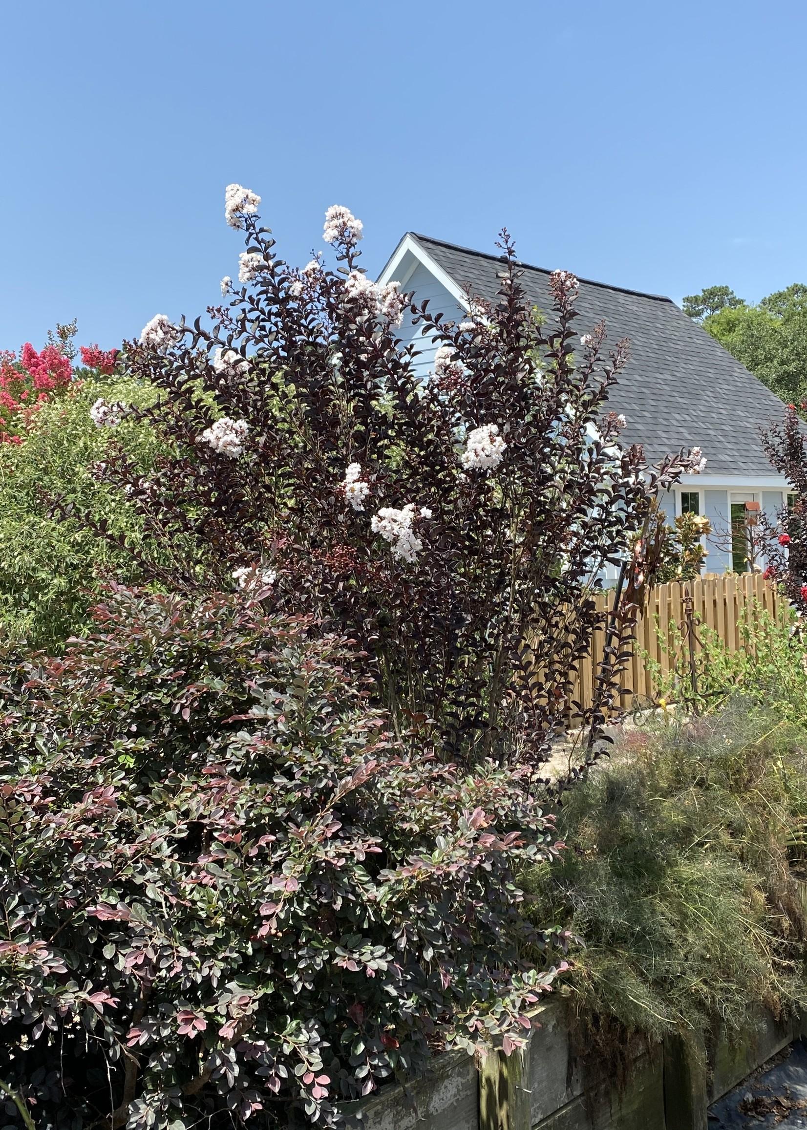 Crape Myrtle, 'Ebony & Ivory' 3G (black leaves white flowers)