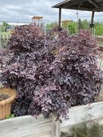 LOROPETALUM, 'Purple Leaf' 3G