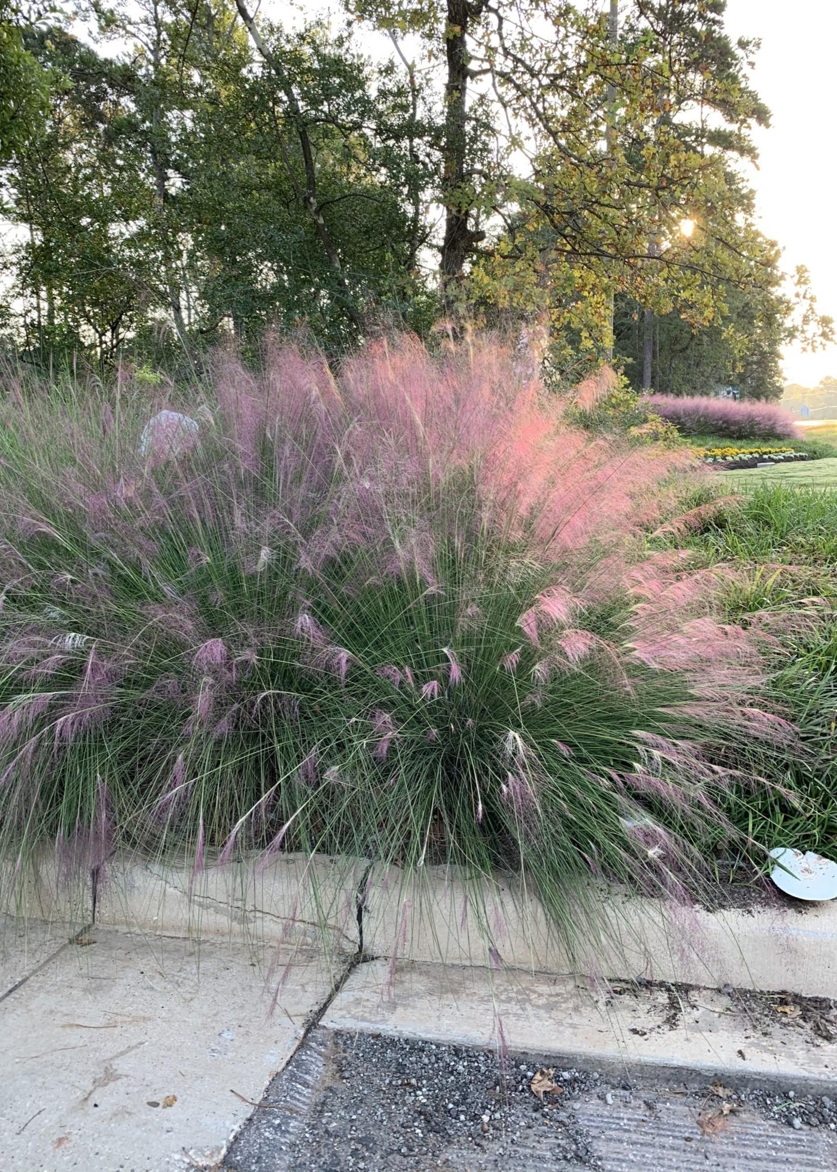 GRASS, PINK MUHLY 3G