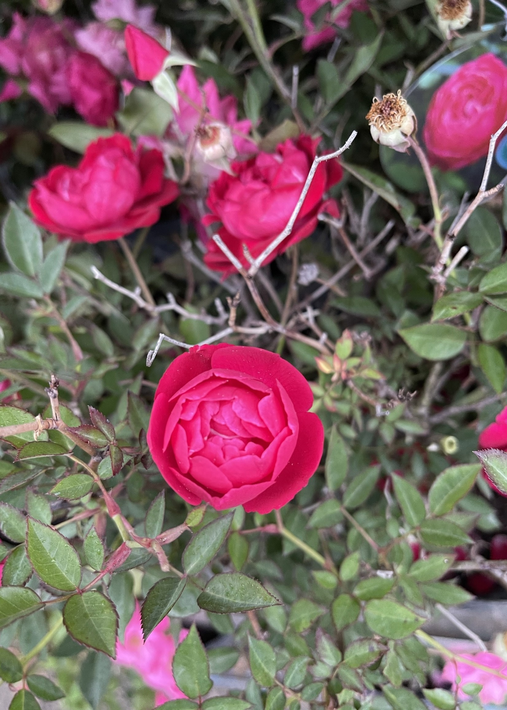 ROSE, 'LOUIS PHILIPPE' 3G (red)