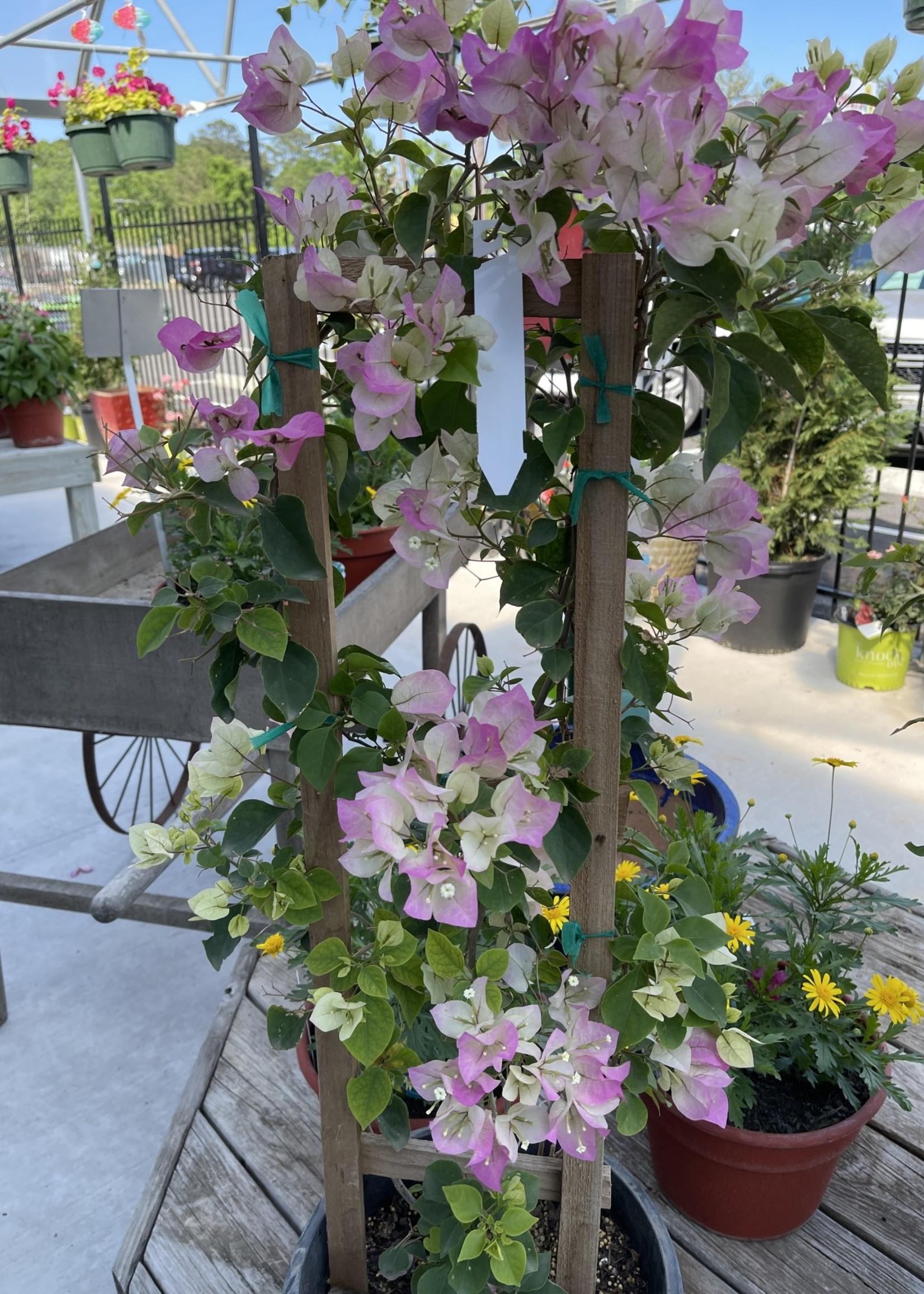 BOUGAINVILLEA, 'Thai Delight' 5G on trellis (bicolor pink)