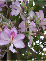 BAUHINIA ORCHID TREE Purple 1G