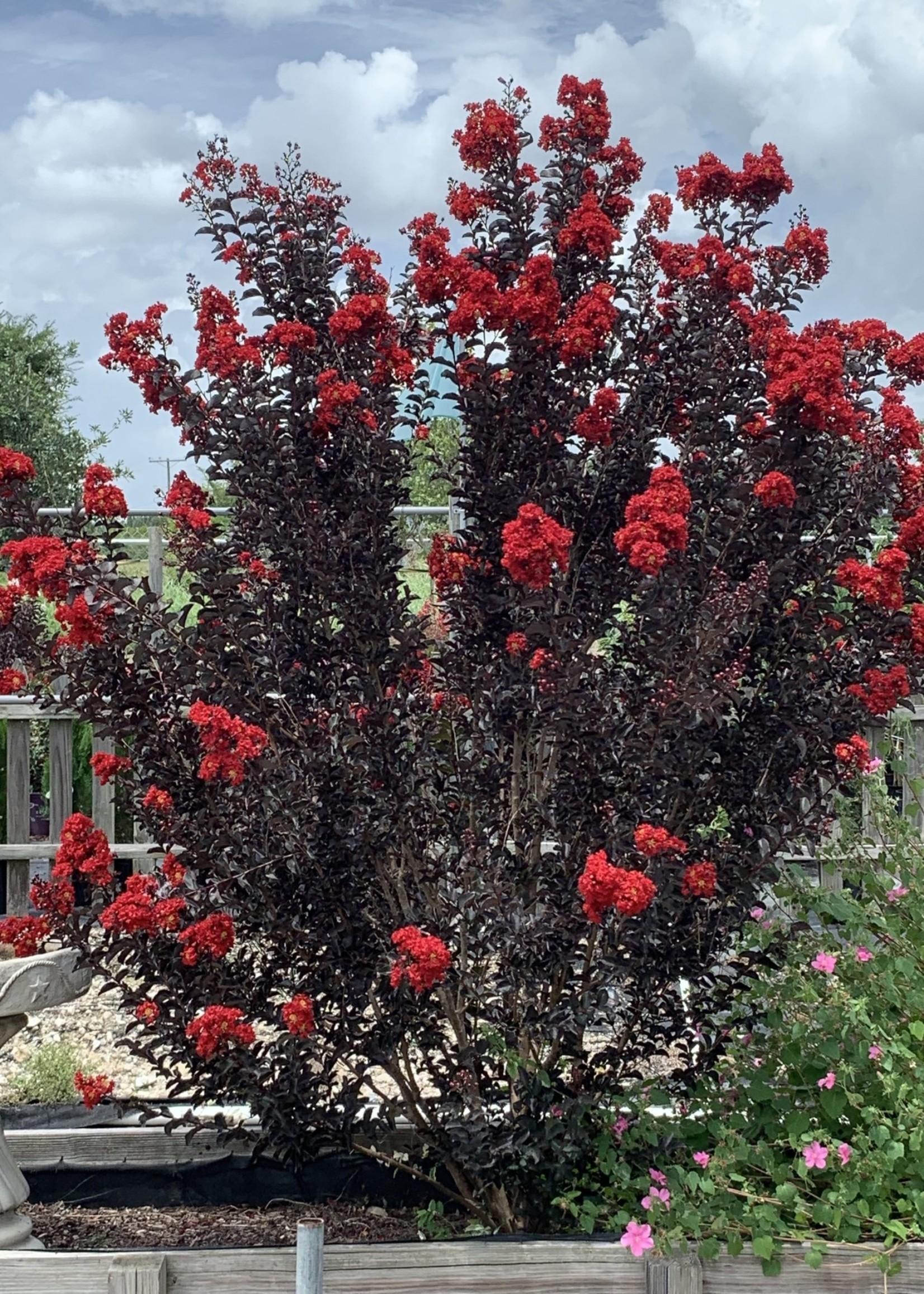 Crape Myrtle, 'Ebony Flame' 3G (black leaves red flowers)