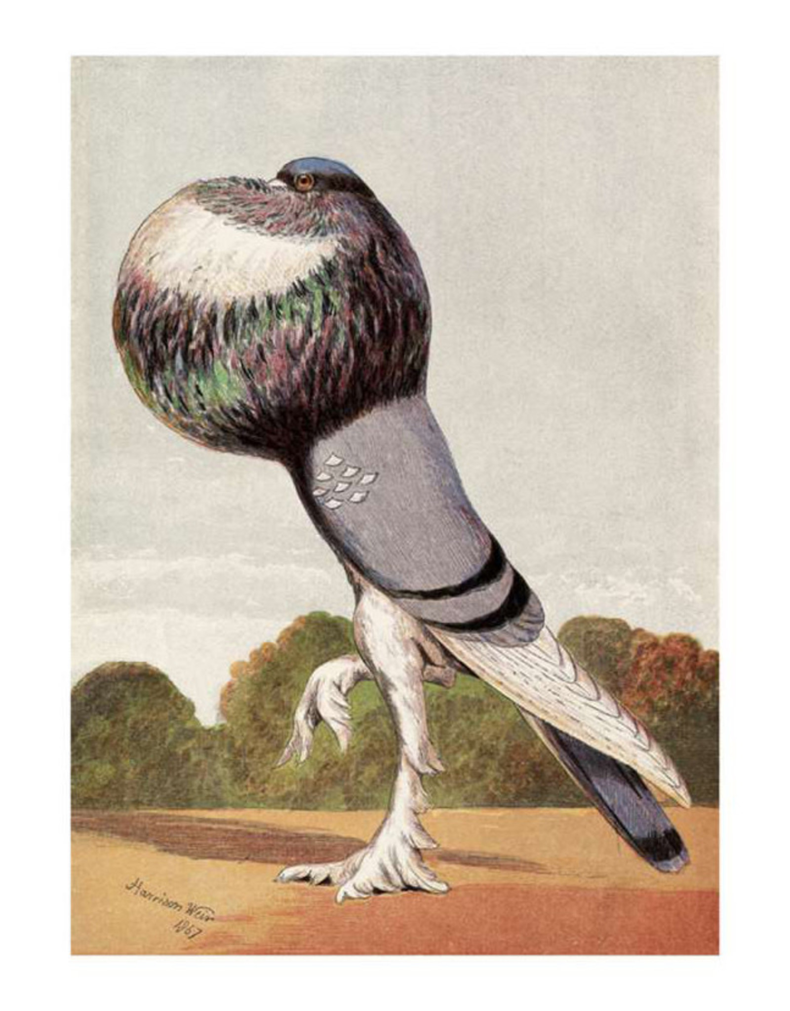 Pomegranate Harrison Weir: Blue Pouter Postcard