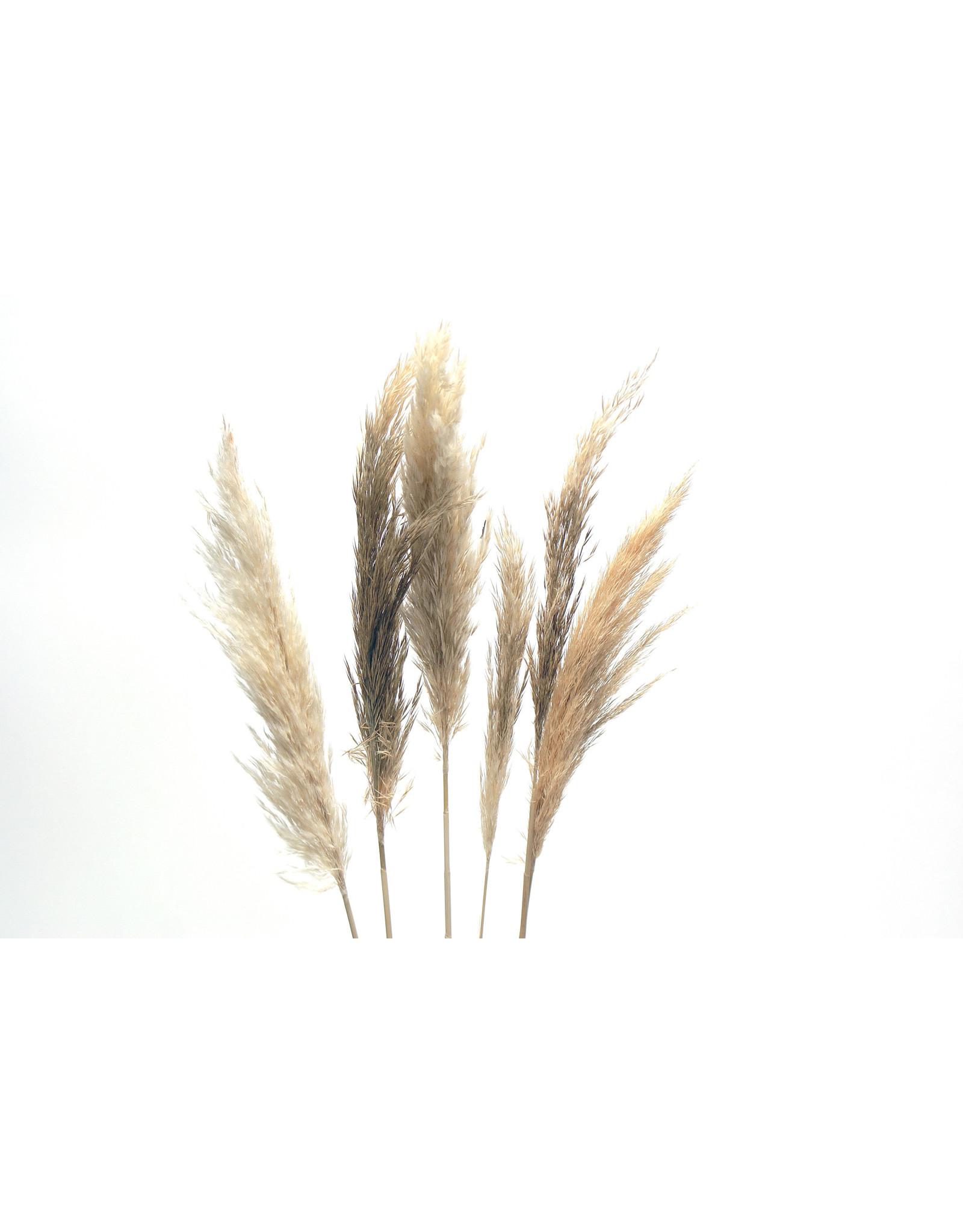 "Botanico Mini Pampas Grass, Cream 30""/6 per pack"