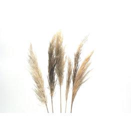 "Mini Pampas Grass, Cream 30""/6 per pack"