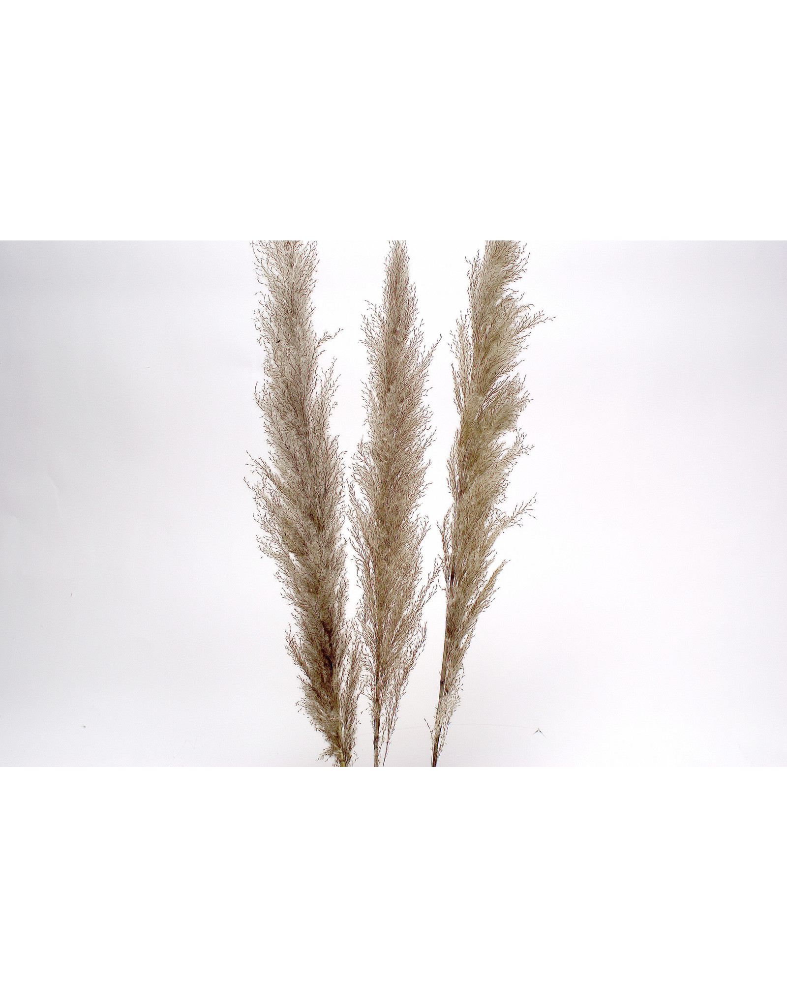 "Botanico Pampas Grass Grey, 48""/3 par paquet"