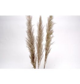 Botanico Pampas Grass Grey, 48p/3 par paquet