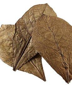 Feuilles de Catapa 6-8 pouces - paquet de 10