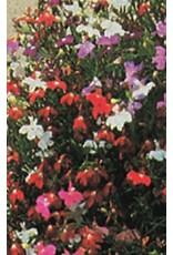 Cascade Mixture Multi-Coloured Lobelia Seeds 5585