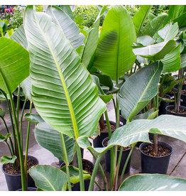 """Miami Tropical Plants Bird Of Paradise White - 10"""""""