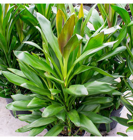 Miami Tropical Plants Cordyline - Glauca - 10""